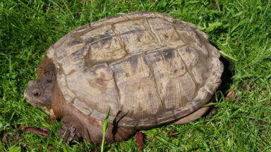 Jette : une dangereuse tortue serpentine se promenait en liberté