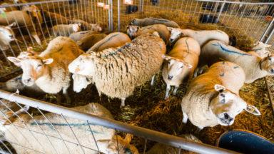 """L'interdiction d'abattage d'animaux sans étourdissement confirmée par la CJUE : """"Cela relancera le débat à Bruxelles"""""""