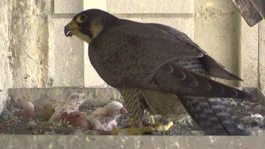 Les faucons pèlerins bruxellois de retour sur le web