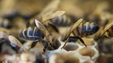 Les abeilles et insectes pollinisateurs sauvages à l'honneur pour une semaine à Bruxelles
