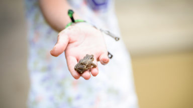 La grenouille verte fait son retour dans les étangs bruxellois