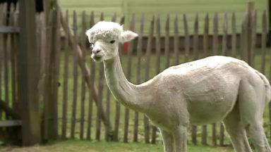 Les anticorps du lama utilisés pour soigner le cancer