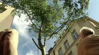Pour éviter d'abattre un arbre, un collectif citoyen en appelle à une variation du Meyboom
