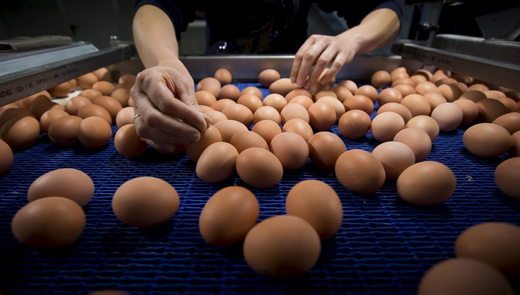 Illustration picture shows eggs rolling of an assembly line at a chicken farm in Merksplas, Tuesday 08 August 2017. Millions of eggs have been pulled from shops in Belgium, the Netherlands and Germany as fipronil was detected in samples. Insecticide fipronil is used to destroy lice and ticks, but it's forbidden for use with animals intended for human consumption. BELGA PHOTO KRISTOF VAN ACCOM