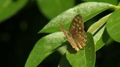 Natagora demande aux citoyens de recenser les papillons dans leurs jardins