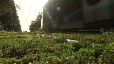 Des plantes vertes plus résistantes entre les rails du tram pour favoriser la biodiversité