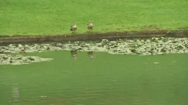 Marius Renard : les cadavres de 5 canards et 5 oies découverts à Anderlecht