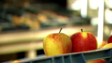 Récolte de pommes belges : les maraîchers subissent une très mauvaise année