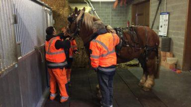 Domino : le nouveau cheval de trait schaerbeekois