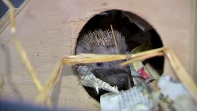 Début de l'hibernation : comment aider les hérissons les plus faibles à passer l'hiver ?