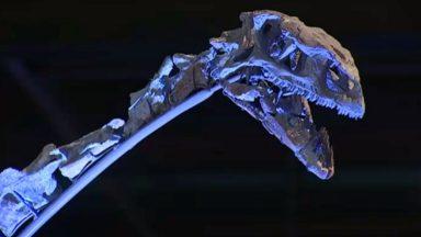 Ben le Platéosaure se dévoile au Musée des sciences naturelles de Bruxelles