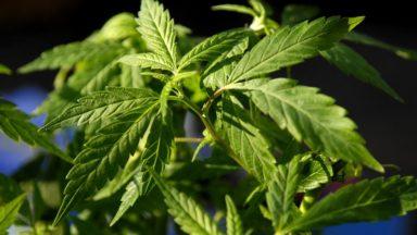 Montgomery : plus de 1700 plants de cannabis saisis par la police
