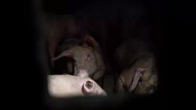 Animal Rights dénonce des maltraitances chez un fournisseur de Colruyt et Delhaize