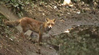 Reyers : des renards à déloger avant les travaux du futur siège de la RTBF