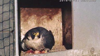 4 oeufs en cours de couvaison pour le couple de faucons pèlerins de Woluwe-Saint-Pierre