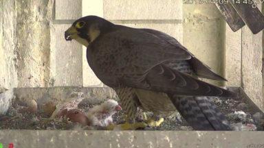 Observez en direct dès demain les faucons pèlerins installés à Bruxelles