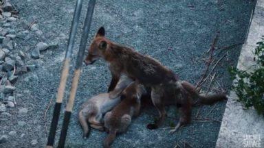 Un Youtubeur bruxellois, passionné de nature, a suivi une famille de renards