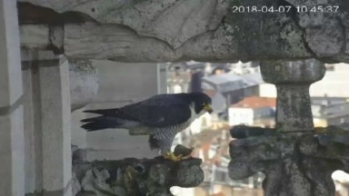 Une famille de faucons retarde la fin du chantier de la Basilique de Koekelberg de quelques semaines