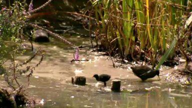 """Des algues """"bleues"""" observées dans de nombreux points d'eau de la capitale : elles peuvent être nocives"""