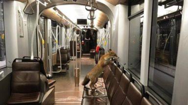 Un renard vu… dans un tram de la Stib