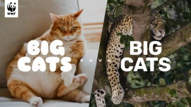 Le WWF appelle les chats belges à… maigrir pour sauver le jaguar
