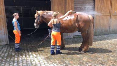Tours en calèche interrompus jusqu'à dimanche : les chevaux subissent aussi les fortes chaleurs