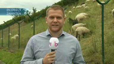 Des moutons ont investi la prairie à côté de Brussels Airport