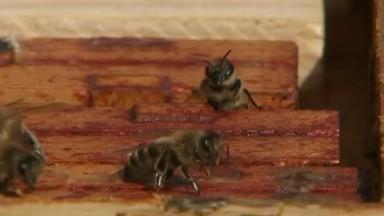 WildBnB : le projet de l'ULB qui a déjà recensé 200 espèces d'abeilles sauvages à Bruxelles