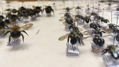 Près de 190 espèces d'abeilles sauvages recensées à Bruxelles grâce à WildBnB