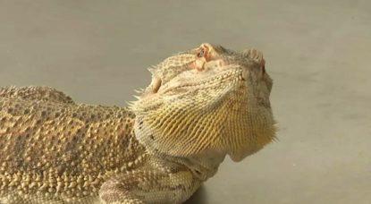Dragon barbu Pogona - BX1