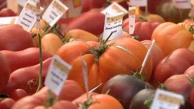 De drôles de passionnés dédient leur temps à la collection de tomates