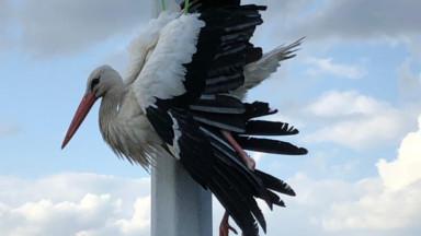 Une cigogne coincée sur un lampadaire à Neder-over-Hembeek
