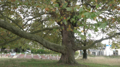"""Un platane du CHU Brugmann nominé comme """"arbre belge de l'année"""""""