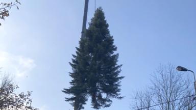 Le sapin qui trônera sur la Grand-Place pour Noël a été abattu à Stavelot