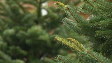 Fraîchement coupé, le sapin de Noël du Palais Royal est originaire de Libramont