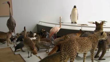 Le Musée des sciences naturelles va exposer près de 850 animaux empaillés