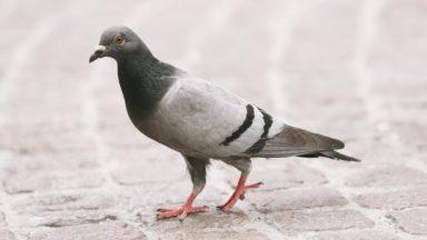 Bientôt moins de pigeons ? Ixelles distribuera des graines contraceptives