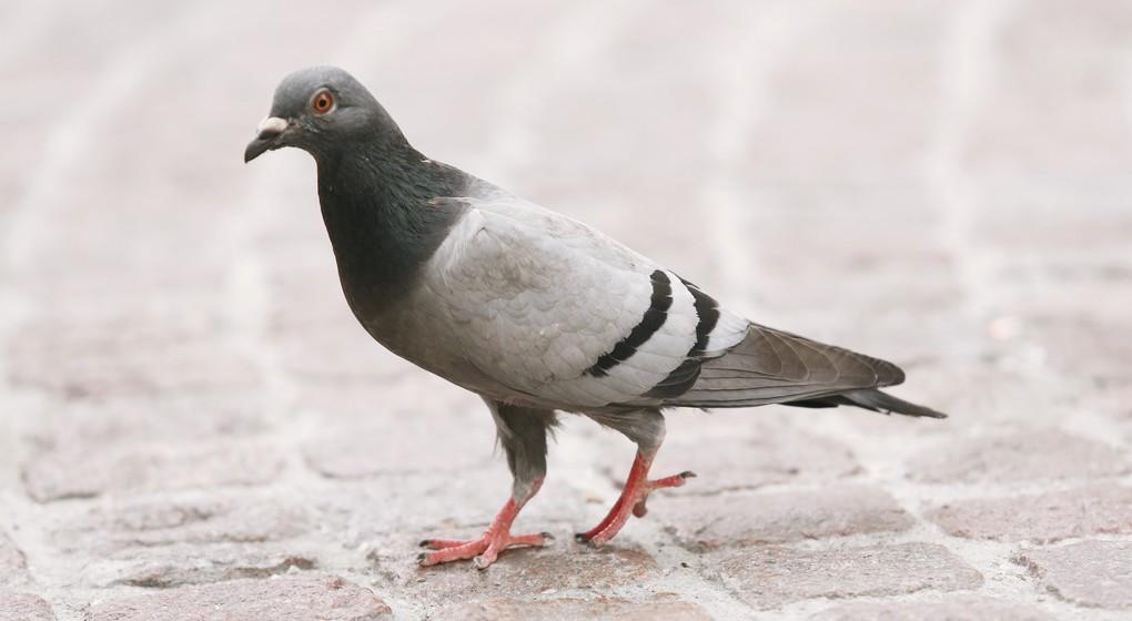 Pigeon - Illustration Belga Siska Gremmelprez