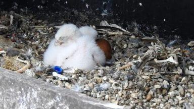 Des faucons pèlerins sont nés dans la tour de l'hôtel communal de Schaerbeek