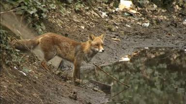 Les renards et les oiseaux plus visibles depuis le confinement