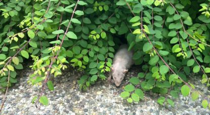 Rat brun - WIkimedia Commons Jiel Beaumadier