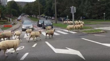 Woluwe-Saint-Lambert : des moutons traversent le Boulevard de la Woluwe, vers le moulin