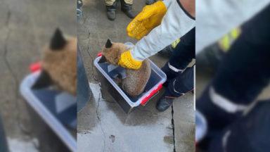 Les Pompiers de Bruxelles ont reçu la visite inattendue d'un renard dans leur caserne