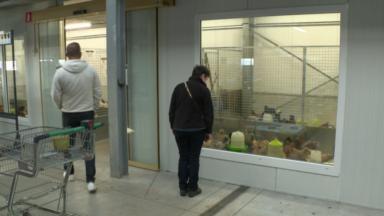 Confinement : le boom des poules en ville