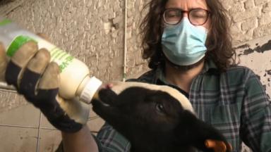 38 agneaux viennent de naître dans une ferme de Berchem-Sainte-Agathe