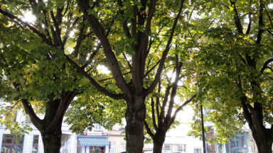 Ville de Bruxelles : les six tilleuls de la place Ninove seront préservés