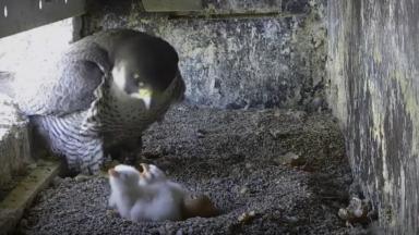 Uccle : trois fauconneaux sont nés à l'église Saint-Job, le quatrième prêt à éclore