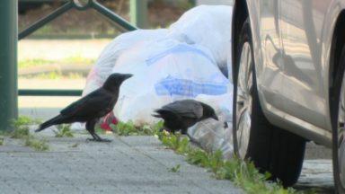 Quand les corneilles se jettent sur les poubelles : un problème bien urbain