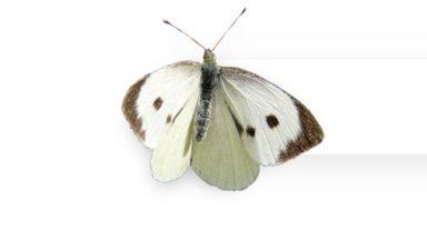 Biodiversité : les piérides, l'espèce de papillons la plus présente dans nos jardins