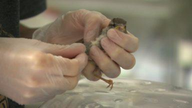 La Ligue belge pour la protection des oiseaux n'a jamais accueilli autant d'animaux sauvages